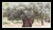Au printemps, les rameaux d'olivier arborent de minuscules fleurs blanches, en grappes, dont 5% seulement donneront naissance aux olives.