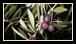 De nombreuses découvertes archéologiques (peintures murales, idéogrammes, bijoux et jarres à huile d'olive) témoignent de la valeur portée à l'olivier et à ses fruits depuis une époque très lointaine.