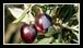 La plus controversée. Elle est fabriquée « à l'ancienne » : on stocke les olives à pleine maturité quelques jours dans des caisses où elles fermentent légèrement perdant ainsi leur ardence initiale.